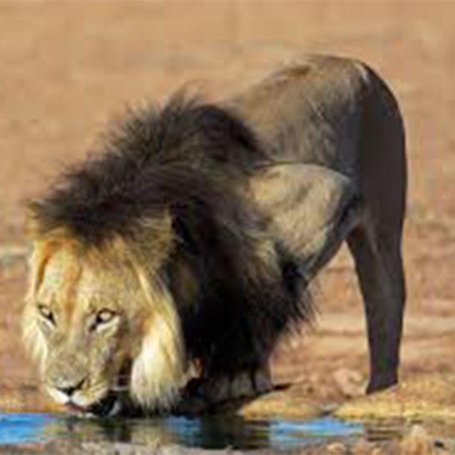 black-maned Kalahari lions